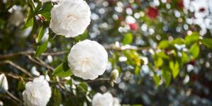 Camelia Chanel Gaujacq: il giardino-conservatorio botanico, un autentico tesoro